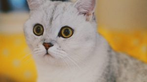 White, gray cat with dilated pupils